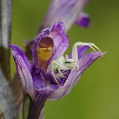 orchidées et araignées - Page 5 Limodo10