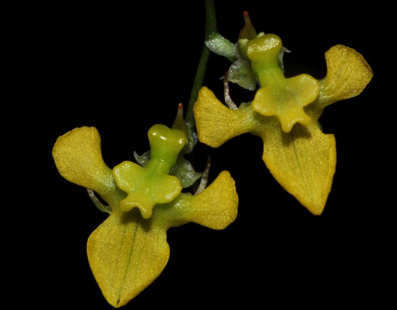 Miniatur-Orchideen Teil 4 - Seite 3 Erycin10