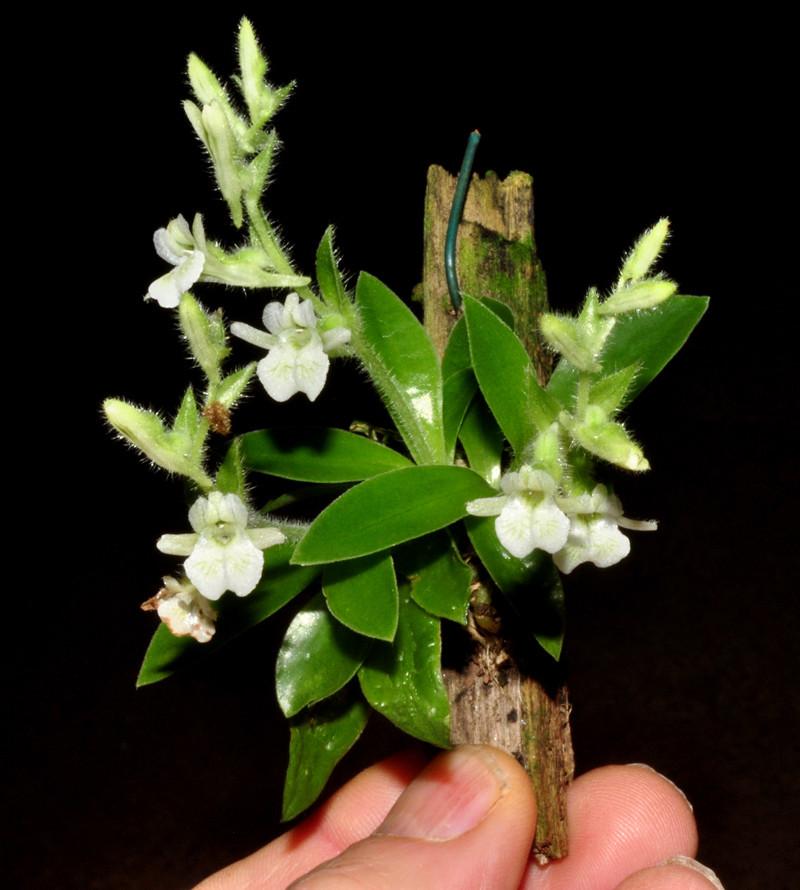 Miniatur-Orchideen Teil 4 Lankes10