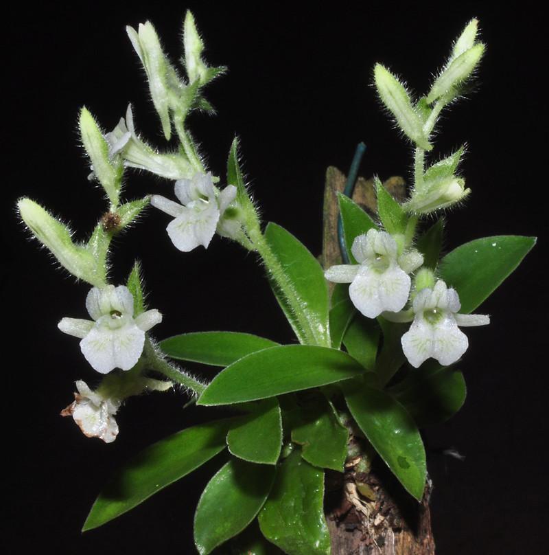 Miniatur-Orchideen Teil 4 Lankes11