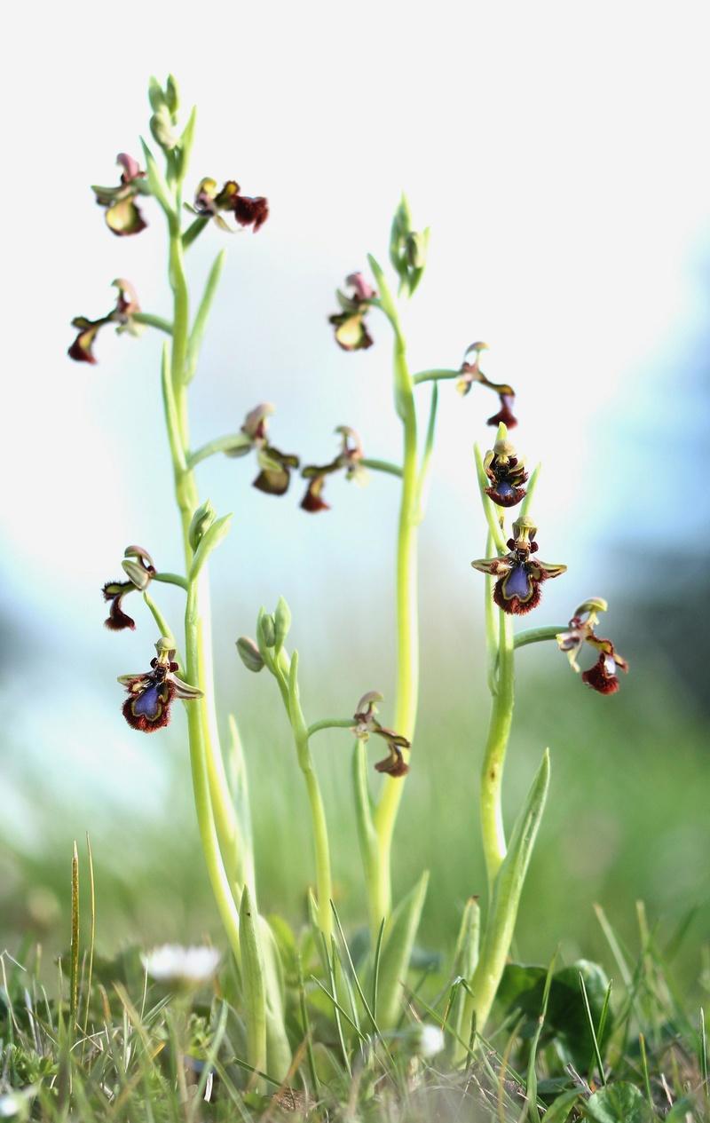 Ophrys miroir histoire de speculer un peu...) 210