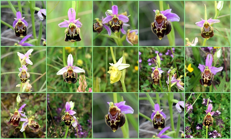 besoin d'aide sur les ophrys tardif Best_o10