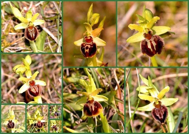 1er Ophrys 2018 à Mirepoix(09) Montag11