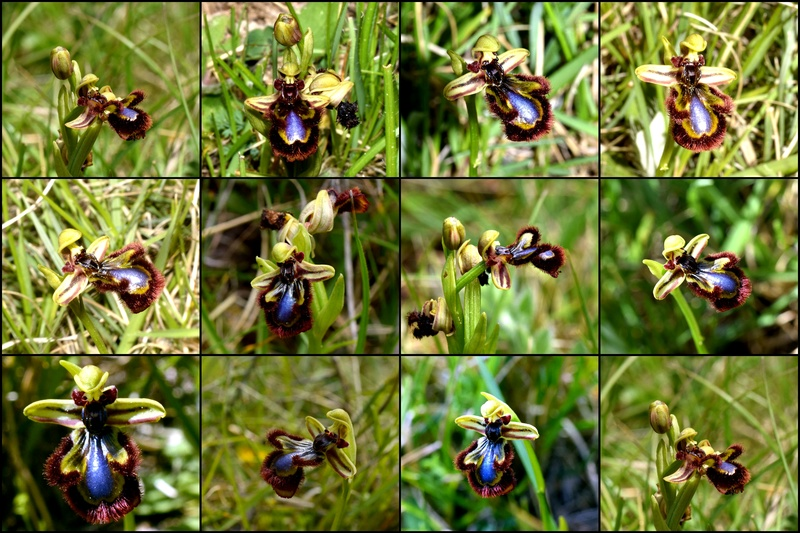 Ophrys miroir histoire de speculer un peu...) Specul10