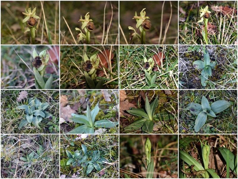 1er Ophrys 2018 à Mirepoix(09) Troye_11