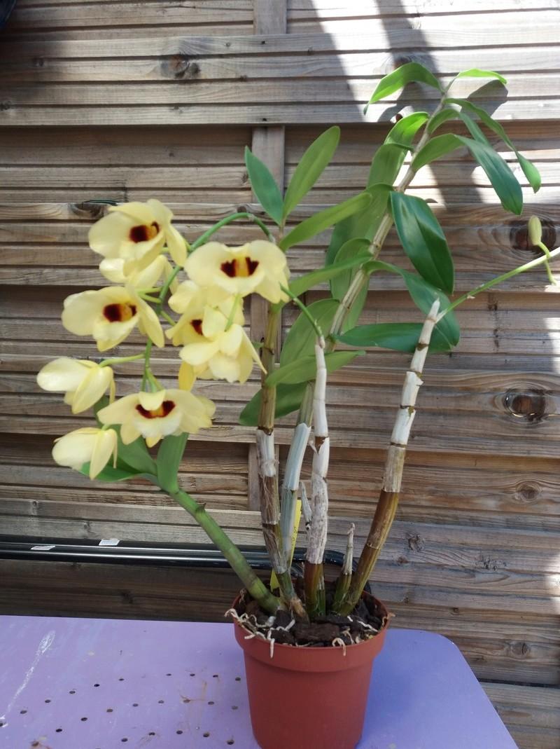 Dendrobium Gatton Sunray 20180411