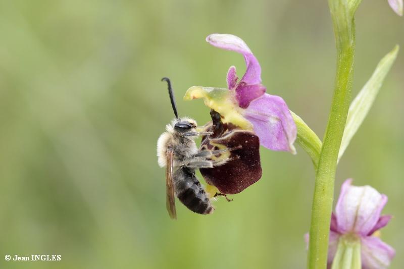 Quelle est cette abeille? 18_80d35