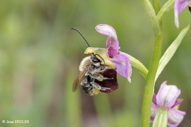 Quelle est cette abeille? 18_80d37