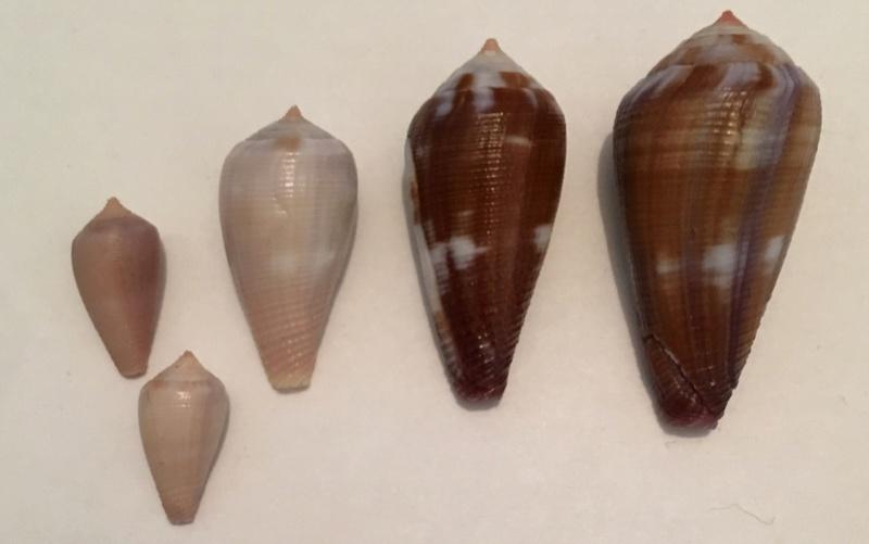 Leporiconus tenuistriatus (G. B. Sowerby II, 1858) - juvénile Image110