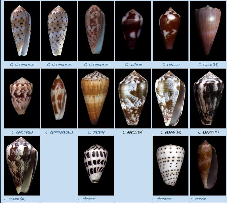 Conus (Pionoconus) easoni   (Petuch & Berschauer, 2018) Image114