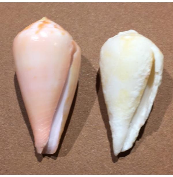 Rhizoconus pertusus (Hwass in Bruguière, 1792) Image210