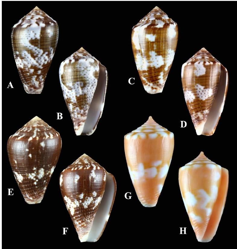 Conus (Pionoconus) easoni   (Petuch & Berschauer, 2018) Image211