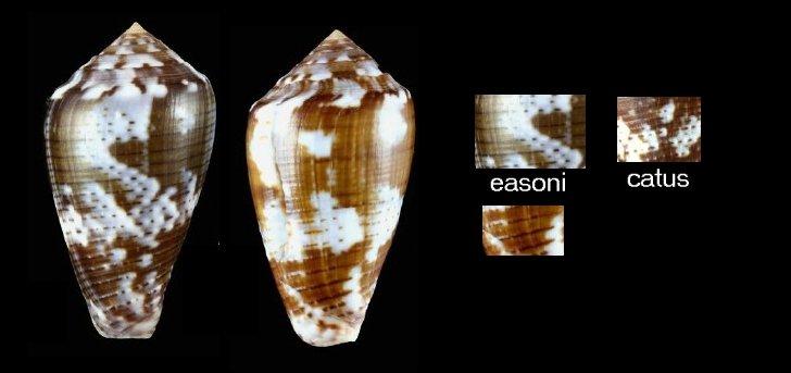Conus (Pionoconus) easoni   (Petuch & Berschauer, 2018) Image410