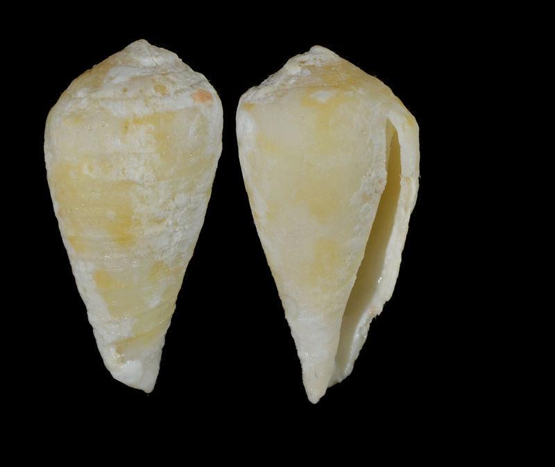 Rhizoconus pertusus (Hwass in Bruguière, 1792) Unname11