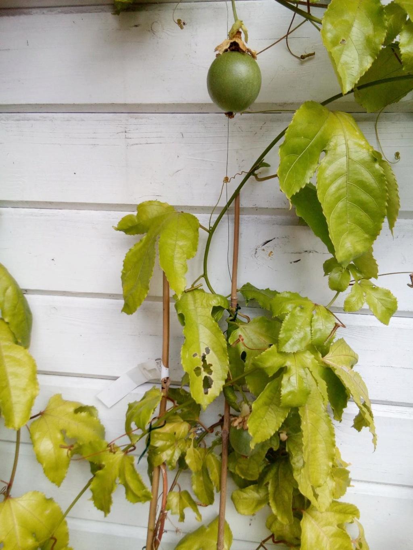 Passiflora edulis Feuillage jaunit Passif10