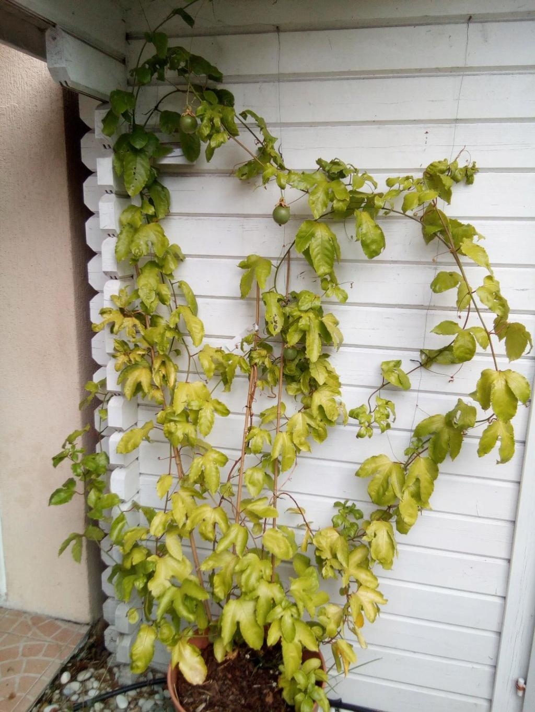 Passiflora edulis Feuillage jaunit Passif11