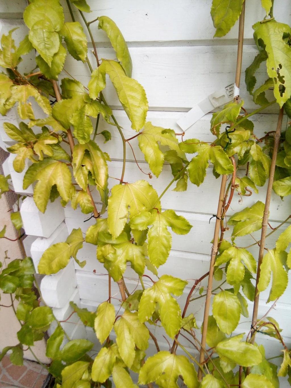Passiflora edulis Feuillage jaunit Passif12
