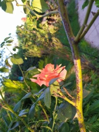 Écorce éclatée des rosiers Rosier16