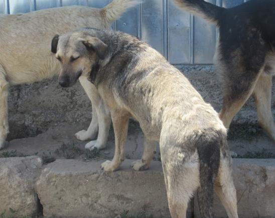 AURA - femelle de taille moyenne, née en 2012 (PASCANI) - REMEMBER ME LAND Aura210
