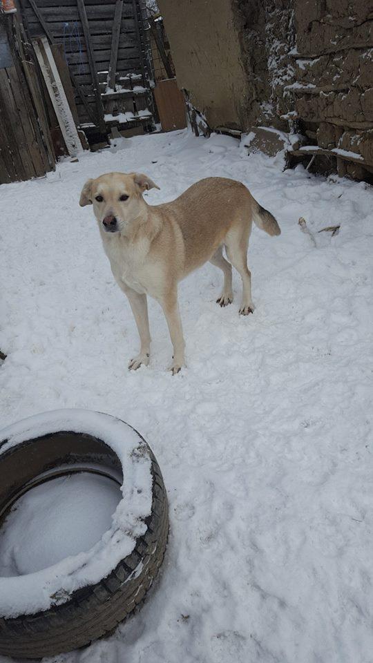 DIANA - femelle Labrador x Retriever de grande taille, née environ février 2010 (Camelia)- en FA chez Tamara (57) - réservée adoption par Yoda (Belgique)  Diana211