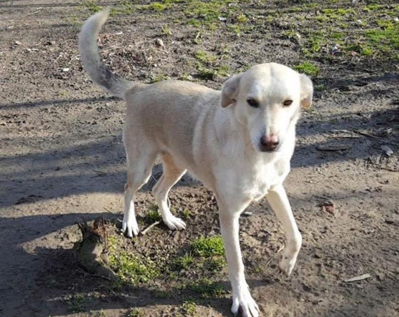 DIANA - femelle Labrador x Retriever de grande taille, née environ février 2010 (Camelia)- en FA chez Tamara (57) - réservée adoption par Yoda (Belgique)  Diana310