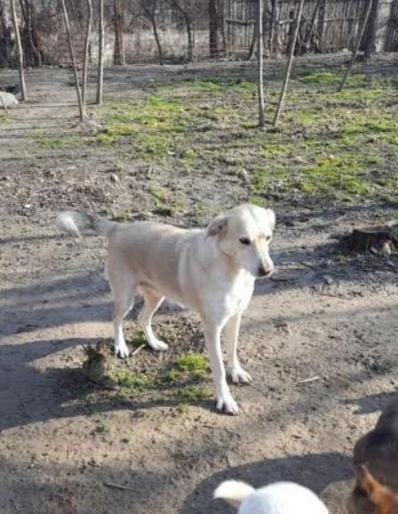 DIANA - femelle Labrador x Retriever de grande taille, née environ février 2010 (Camelia)- en FA chez Tamara (57) - réservée adoption par Yoda (Belgique)  Diana410