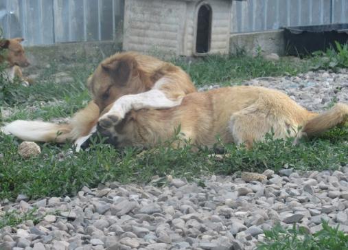 NIKON - mâle croisé de moyenne, né juillet 2017. Frère de Nika (PASCANI) - REMEMBER ME LAND Jojoba26