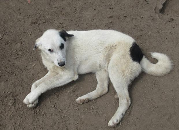 PABLO - mâle croisé de taille moyenne à grande adulte, né en septembre 2017 - REMEMBER ME LAND Pablo310