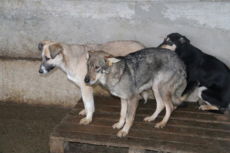 LUPI !! + de 3 ans de box !! - femelle , née environ en 2010, typée chien loup de sarloos, taille moyenne - REMEMBER ME LAND - Page 2 Polka110