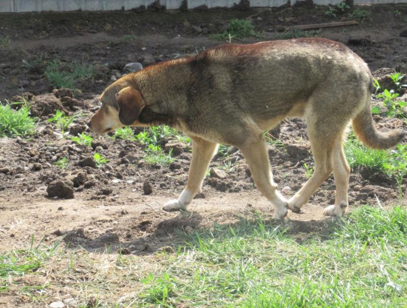 SIRTAKI - mâle croisé de grande taille, né en 2015 (PASCANI) - REMEMBER ME LAND Sirtak11