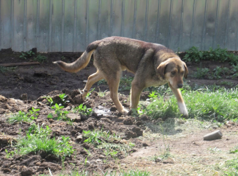 SIRTAKI - mâle croisé de grande taille, né en 2015 (PASCANI) - REMEMBER ME LAND Sirtak12