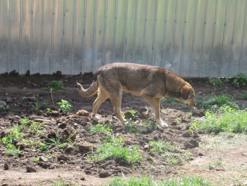SIRTAKI - mâle croisé de grande taille, né en 2015 (PASCANI) - REMEMBER ME LAND Sirtak13