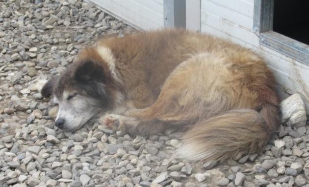 OLLY (ex STARSHIP) - mâle croisé Tervueren, âgé, de taille moyenne, né environ en avril 2008  (PASCANI) - REMEMBER ME LAND - Adopté par Maud (71) Starsh10