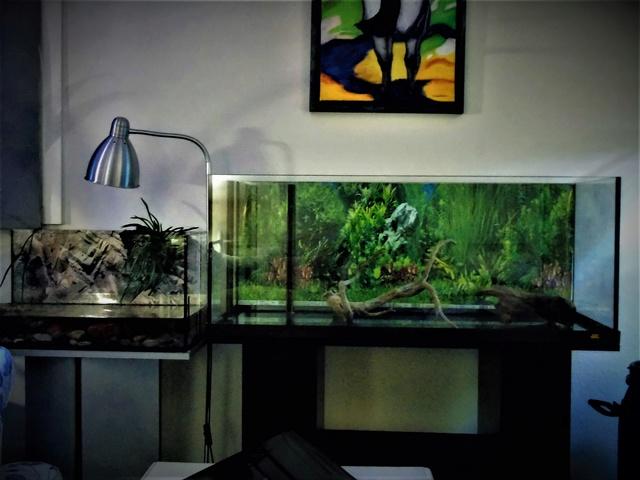 Aquarium de ma petite stenotherus odoratus Dsc03115