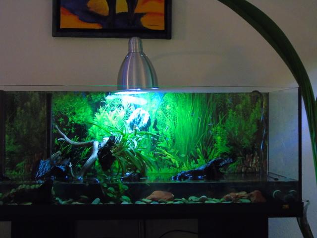 Aquarium de ma petite stenotherus odoratus Dsc03116