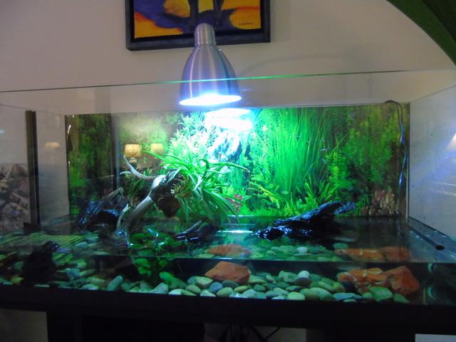 Aquarium de ma petite stenotherus odoratus Dsc03117