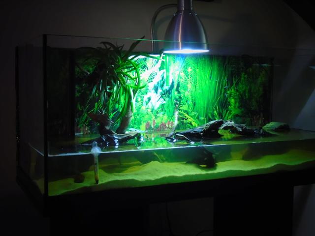 Aquarium de ma petite stenotherus odoratus Dsc03120