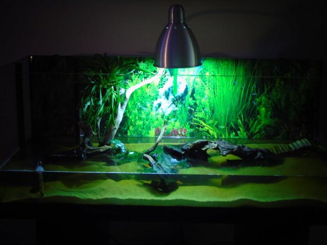 Aquarium de ma petite stenotherus odoratus Dsc03121