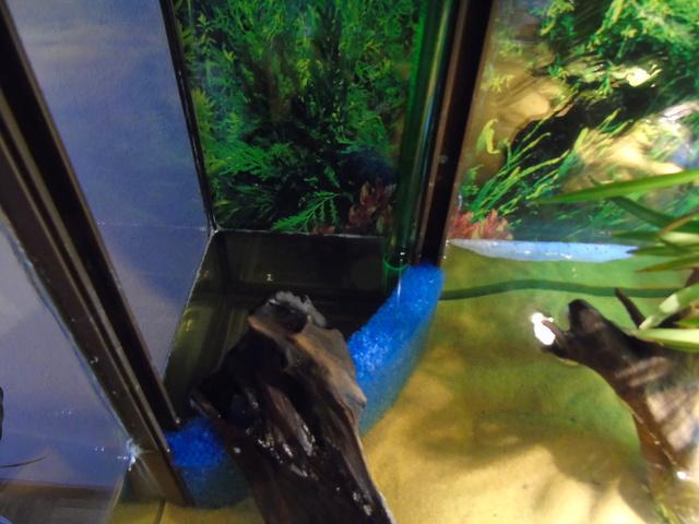 Aquarium de ma petite stenotherus odoratus Dsc03123