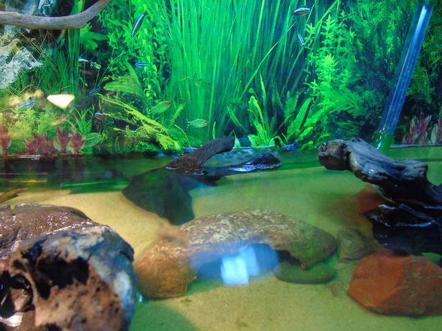 Aquarium de ma petite stenotherus odoratus Dsc03124
