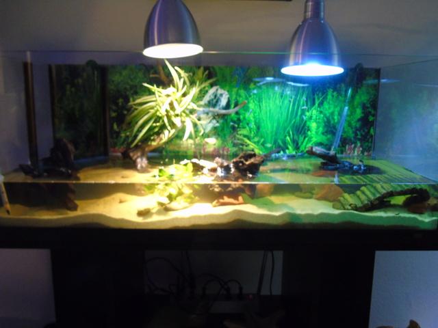 Aquarium de ma petite stenotherus odoratus Dsc03126