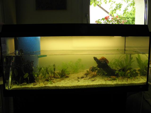 Aquarium de ma petite stenotherus odoratus P5121310