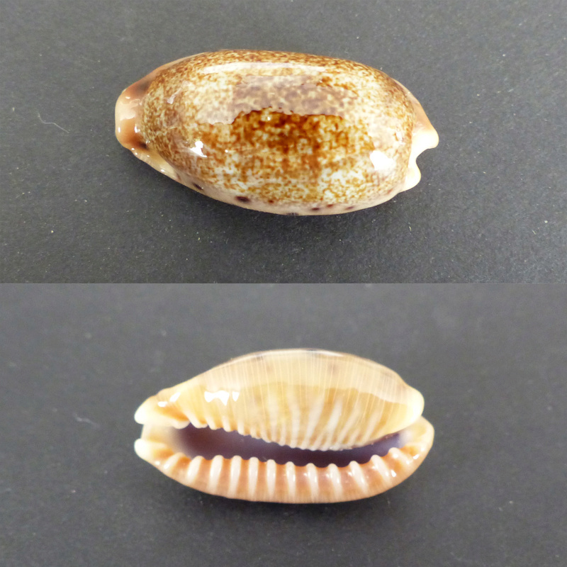 Erronea caurica chrismeyeri - Lorenz, 2017 Cauric10