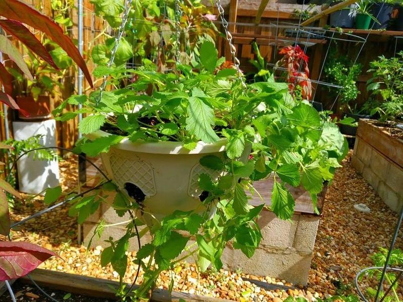 Strawberry Seeds Fb_img11