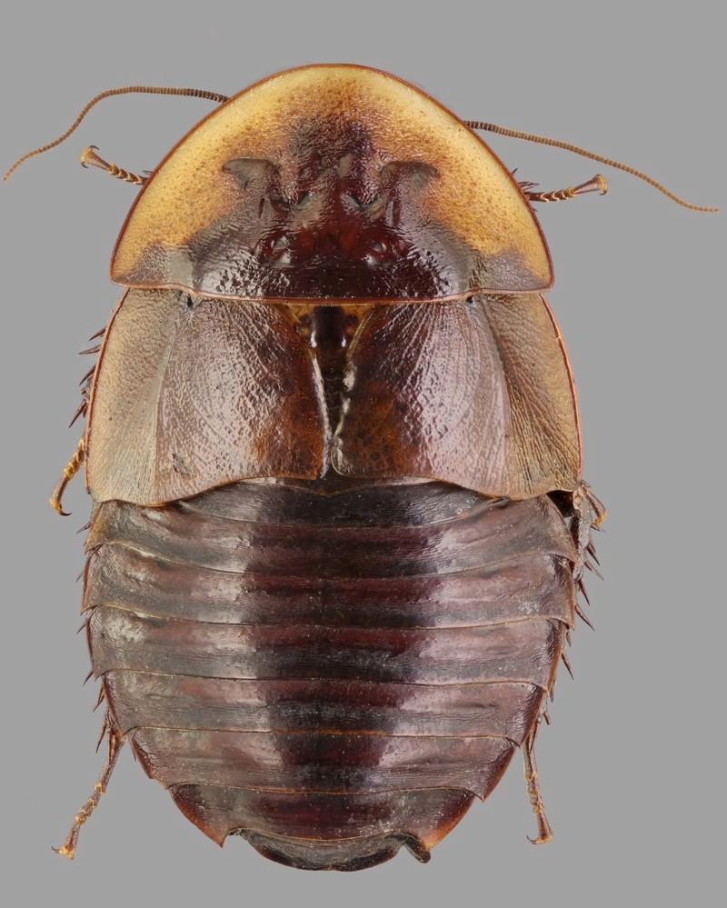 Blattodea ID ? Blatto10