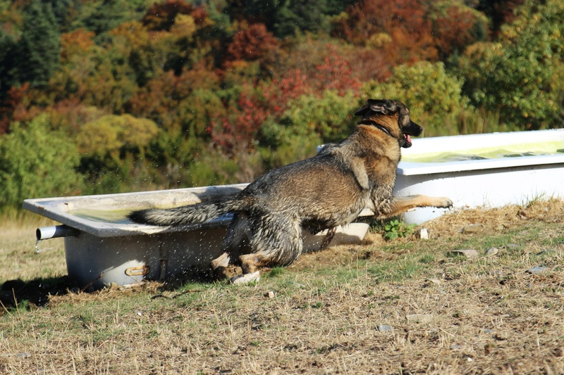Ico, berger allemand et Misca, leonberg. - Page 9 Img_2810