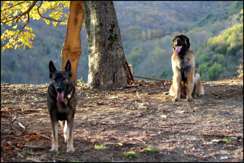 Ico, berger allemand et Misca, leonberg. - Page 9 Img_3310