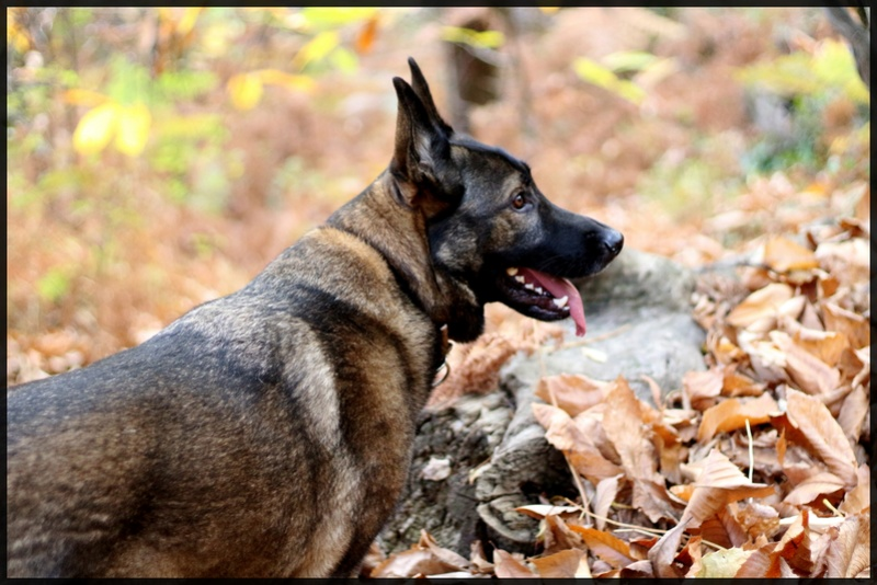 Ico, berger allemand et Misca, leonberg. - Page 9 Img_3410