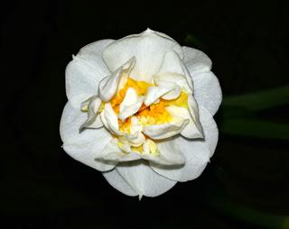 narcisses à fleurs doubles Floare10