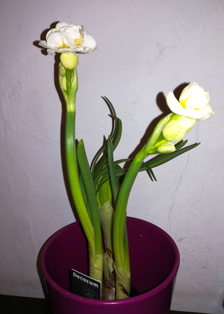 narcisses à fleurs doubles Floare11
